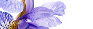 Photograph of flower petals on a white background