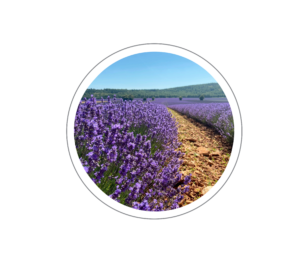 Botanicals Lavender